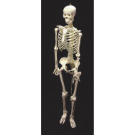 Life-Size Skeleton Model