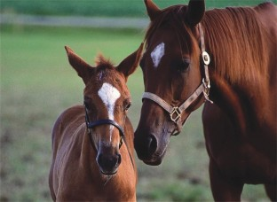 PUZZLE 60PC MARE & FOAL