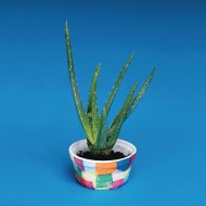 Aloe Growing Craft Kit
