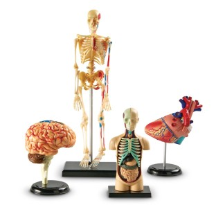 Anatomy Models Set - Image 1 of 1