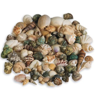 Natural Seashell Assortment, 2-1/2 lbs. - Image 1 of 1